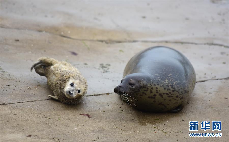 #(社会)(4)山东烟台:新生斑海豹与游客见面