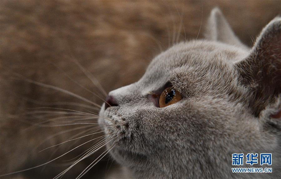 [8](外代二线)莫斯科国际宠物猫展