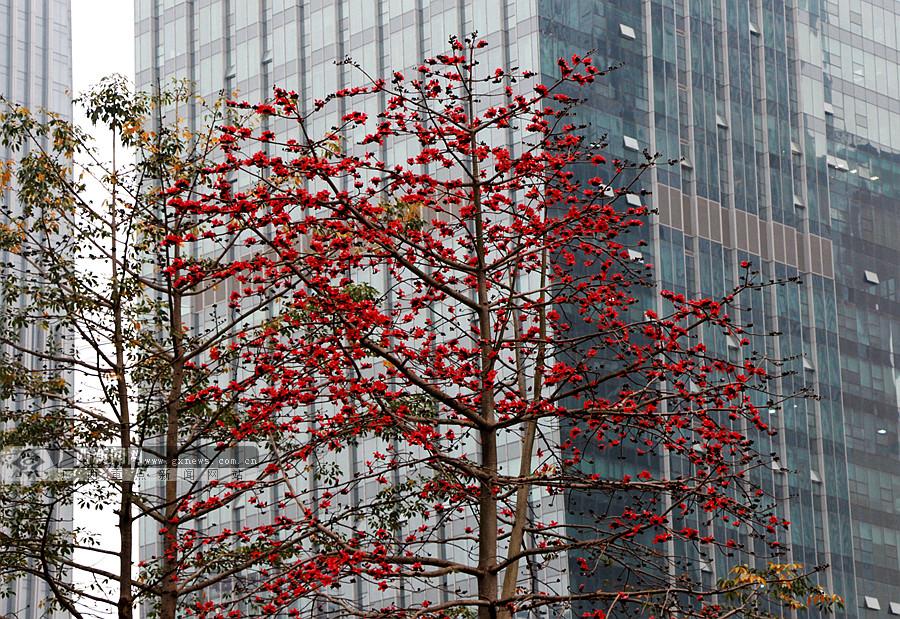 高清图集:南宁街头木棉花盛放