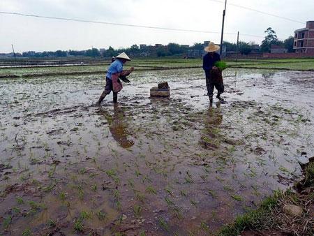 广西钦州:早稻插秧拉开序幕