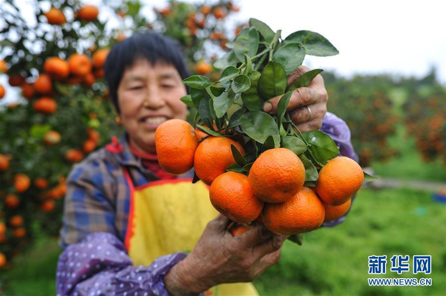 (经济)(1)重庆长寿区:晚熟柑橘喜丰收