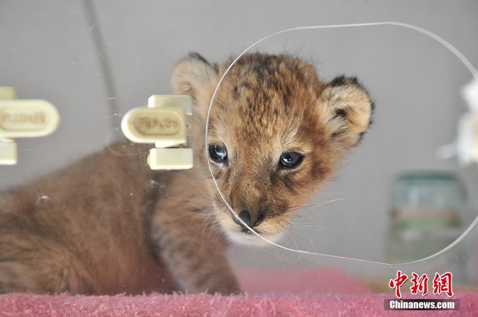 3月16日,保温箱里的小狮子对外界各种事物都充满好奇。近期,云南野生动物园出生了一只可爱的小狮子,由于年纪太小,只能住在育幼中心的保温箱里,由饲养员24小时看护。目前,这只小狮子身体情况良好,天气好的时候饲养员还会带着它出去晒太阳。 中新社记者 刘冉阳 摄