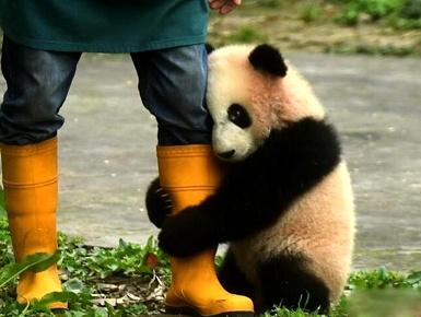 重庆:熊猫幼仔与游客见面
