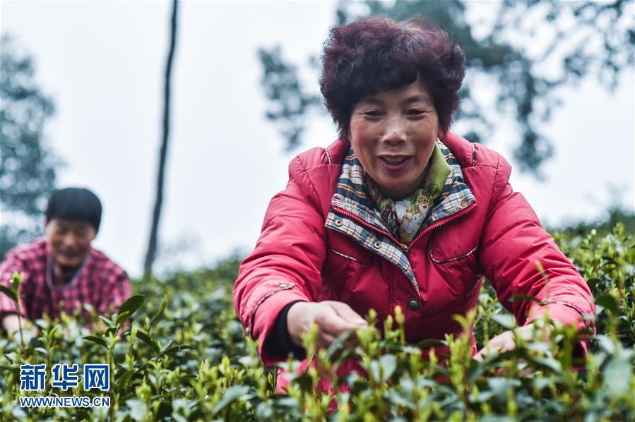 (经济)(1)杭州西湖龙井首批春茶开采