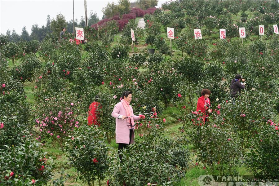 全州县举行首届茶花节 万棵嫁接古茶树迎客来