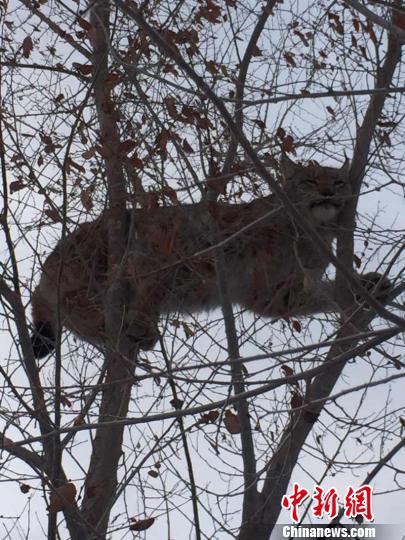 新疆艾比湖保护区首次拍到猞猁:被狗追赶爬上了树