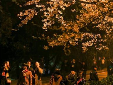 武大樱花吸引游人夜赏