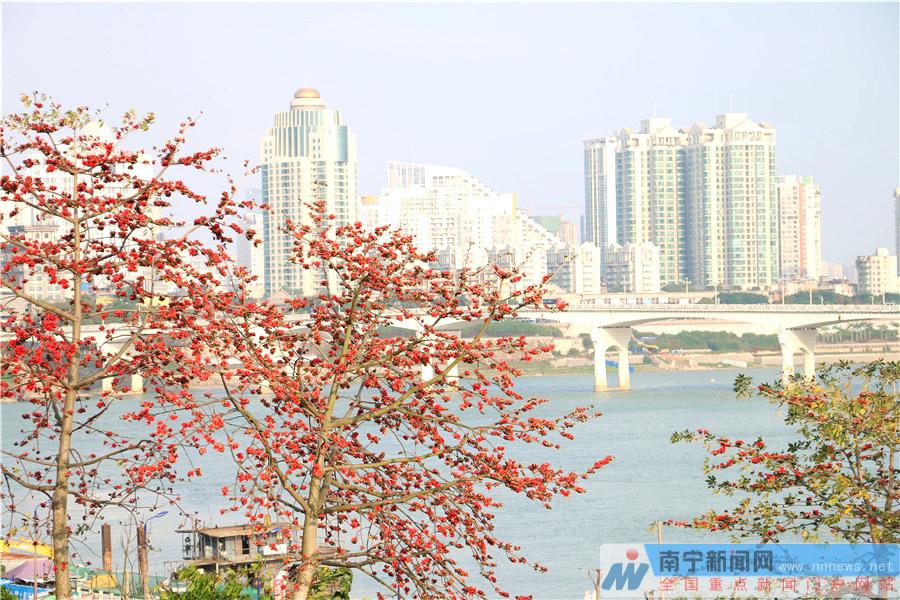 木棉花开为南宁春天增添了色彩(组图)