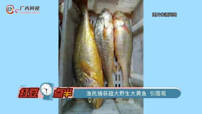 渔民捕获超大野生大黄鱼 引围观