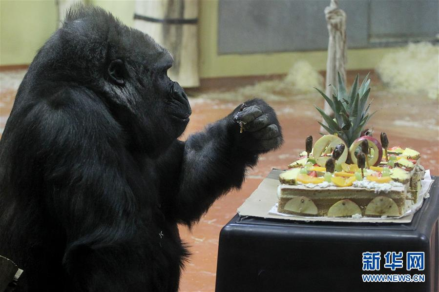 布达佩斯动物园母猩猩利赛尔迎来40岁生日-广西新闻网