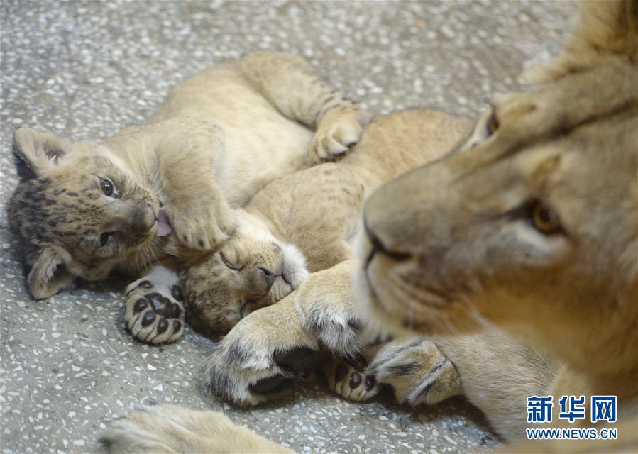 4月12日,在俄罗斯叶卡捷琳堡动物园,两只新出生的非洲狮幼崽与妈妈