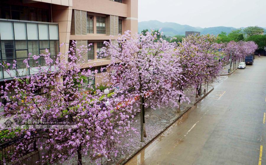 融安:紫荆花开现粉色花海(组图)