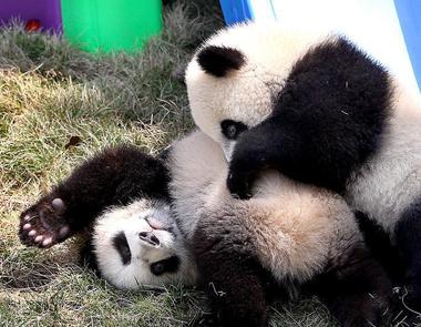 大熊猫龙凤胎得名