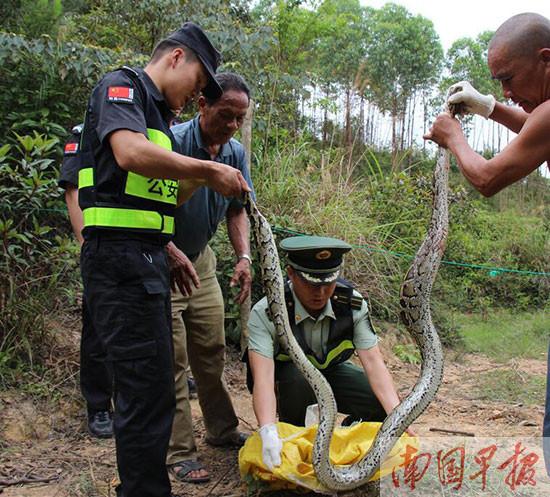 民警解救约3米长蟒蛇 为国家一级保护动物(图) image ...