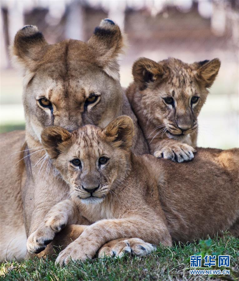 5月4日,在智利首都圣地亚哥附近的布因动物园,一对小狮子和它们的妈