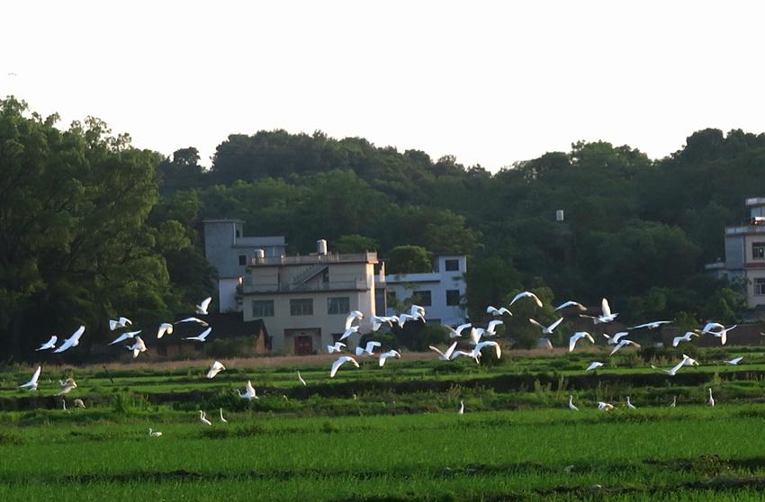 广西全州:生态环境好 乡间白鹭飞