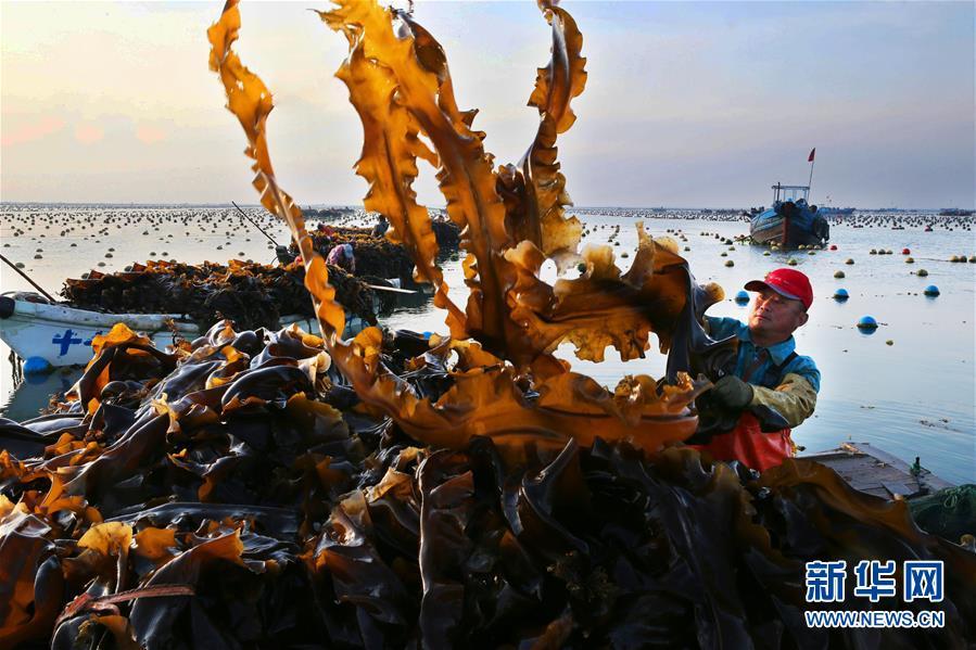#(经济)(1)山东荣成:海带收获忙