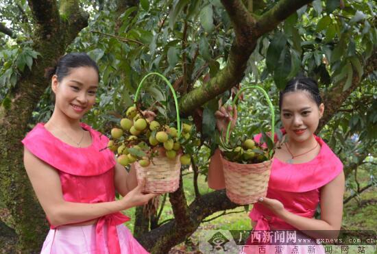 """灵山县""""三月红""""荔枝正式上市 总产量约2.8万吨"""
