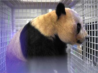 三只旅日大熊猫顺利返成都