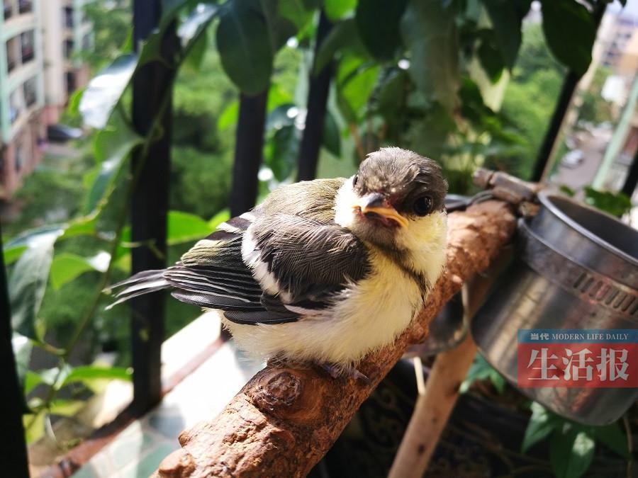 此间,记者一直用视频和照片的方式记录小鸟从雏鸟到放飞自然的故事.