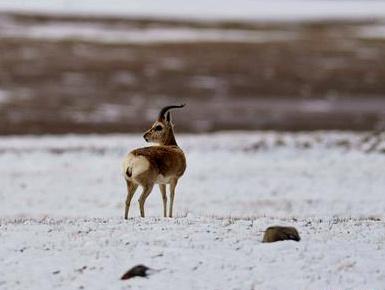青藏高原野生动物科考见闻
