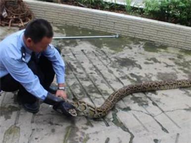 饥饿蟒蛇进村被村民捕获