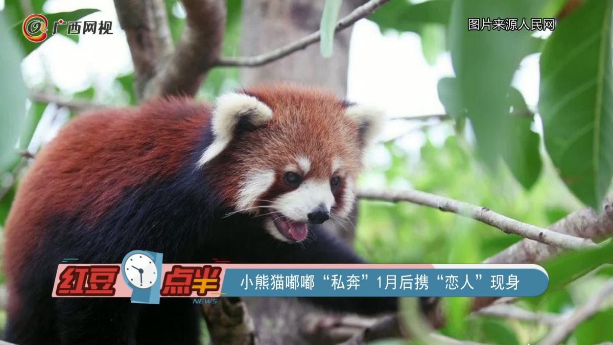 """小熊猫嘟嘟""""私奔""""1月后携""""恋人""""现身"""