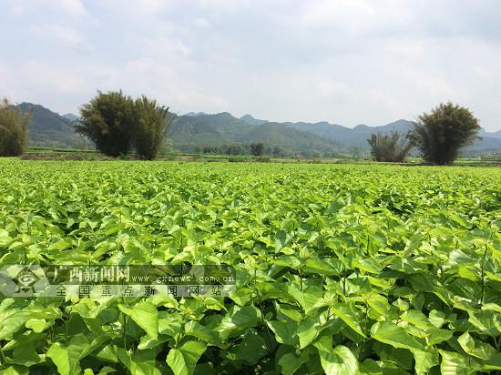 广西又一丝绸产品获国家生态原产地产品保护