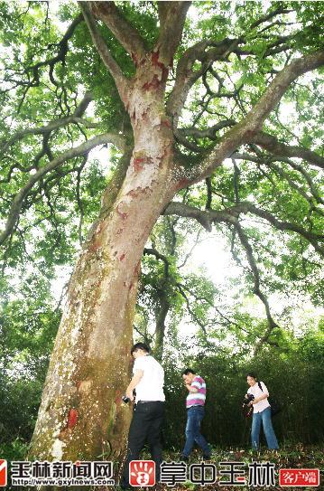 这株格木和旁边2株榕树,1株橄榄树(3株都属三级古树)共同组成了一个