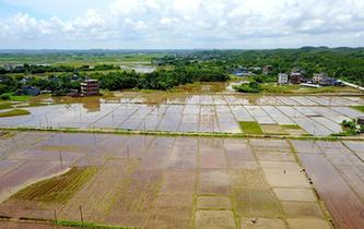 广西晚稻栽种拉开序幕