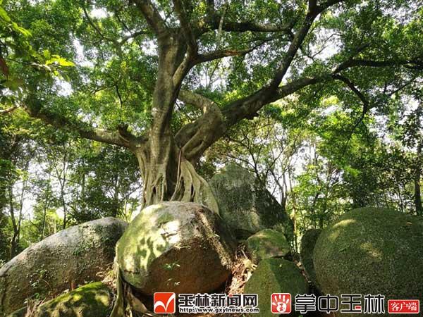 生长在石头上的古榕树.