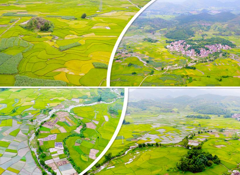 航拍:桂北夏日万亩稻田现如画美景