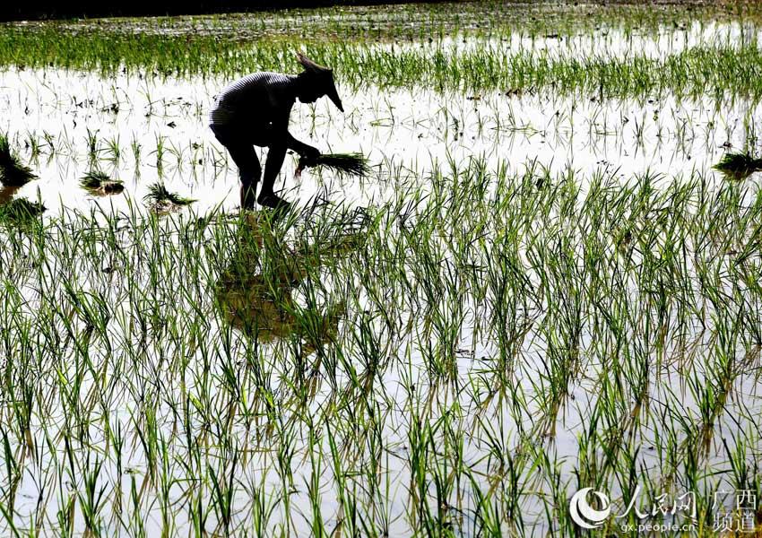 7月22日,广西全州县凤凰镇农民在稻田里抢插晚稻