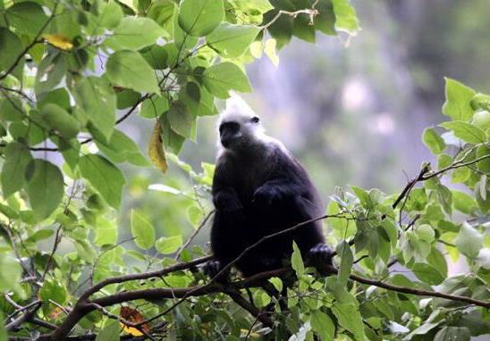 世界极度濒危动物白头叶猴种群数量增至千只