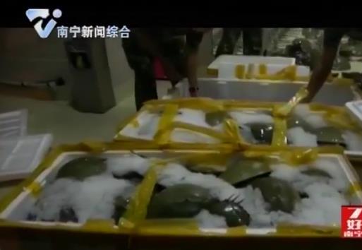 """又见""""活化石""""广西查获162只东方鲎"""