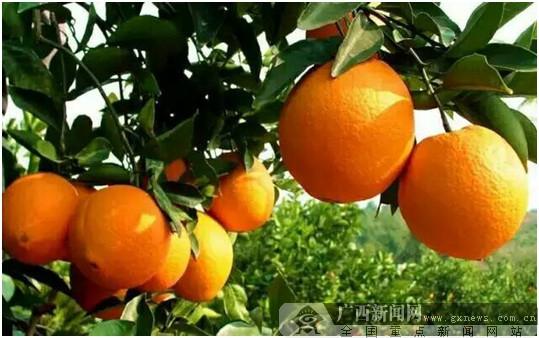 德保:脐橙律动