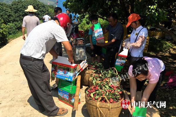 梧州晴热摘荔枝需防暑