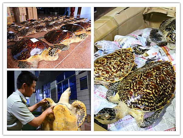 防城港查获38具国家二级重点保护野生动物玳瑁标本