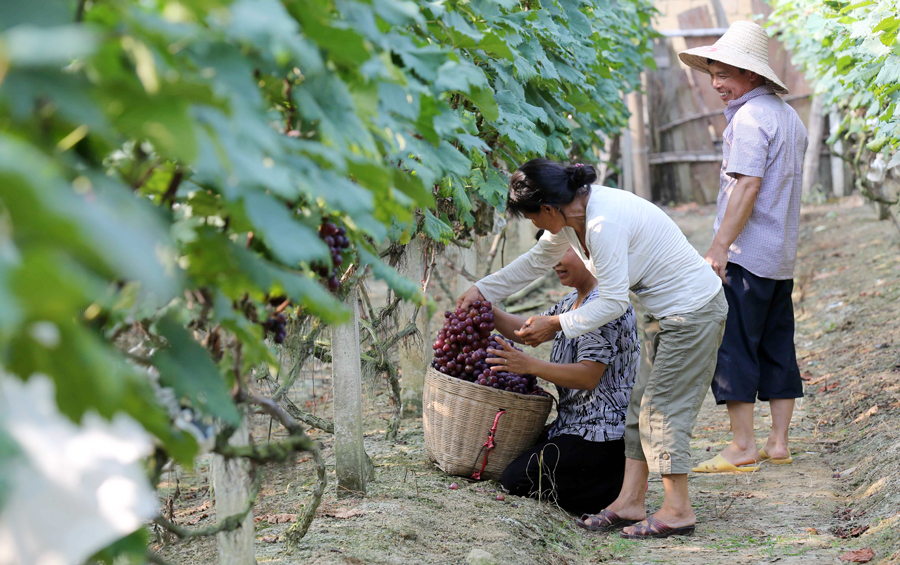 融安:山区群众发展双季葡萄助脱贫(图)