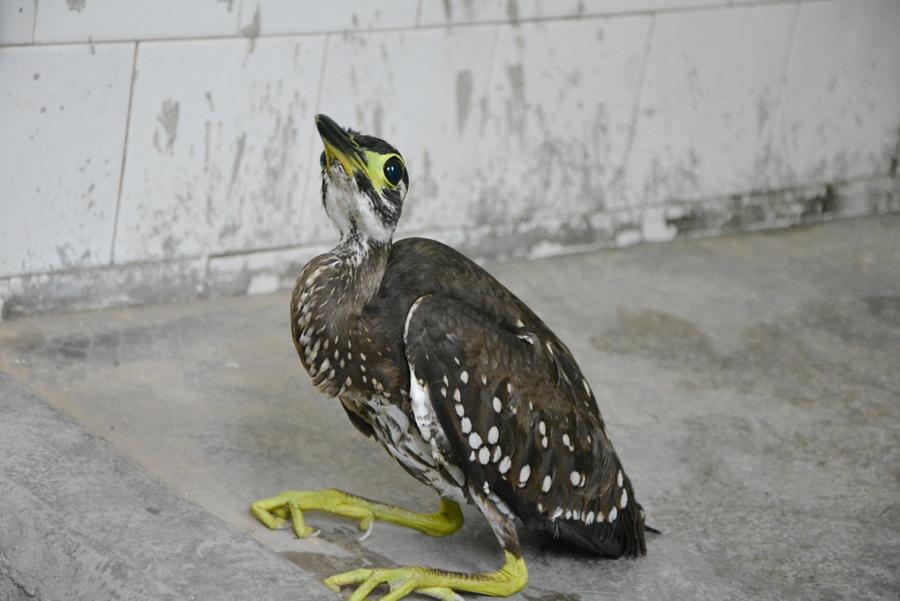 高清组图:金秀发现世界濒危鸟类海南虎斑鳽
