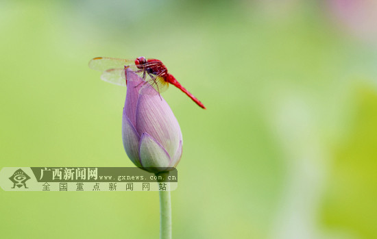 """三江:荷塘花香四溢 红蜻蜓驻足""""赏荷""""(图)"""