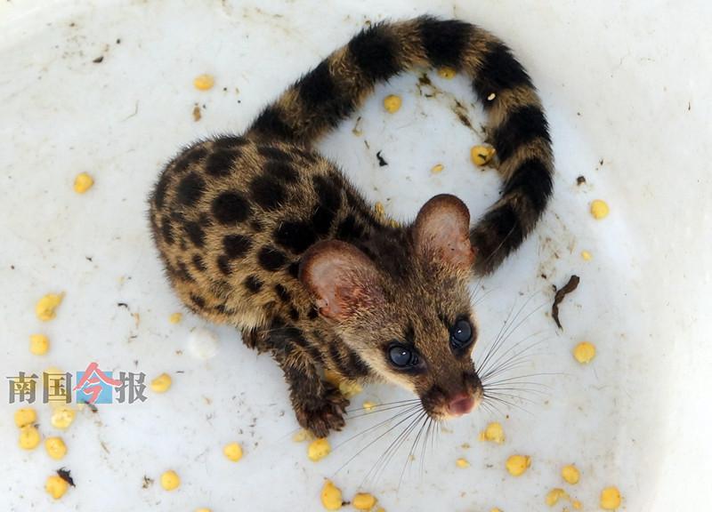 珍稀动物斑林狸闯柳州一工地食堂 被放归山林(图)