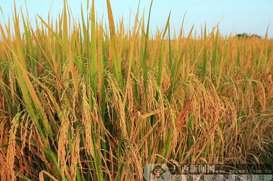 合山:打造富硒大米品牌 惠企惠民