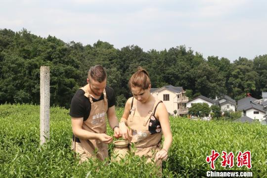 图为:德国汉诺威孔子学院学生采茶。 王潇婧 摄