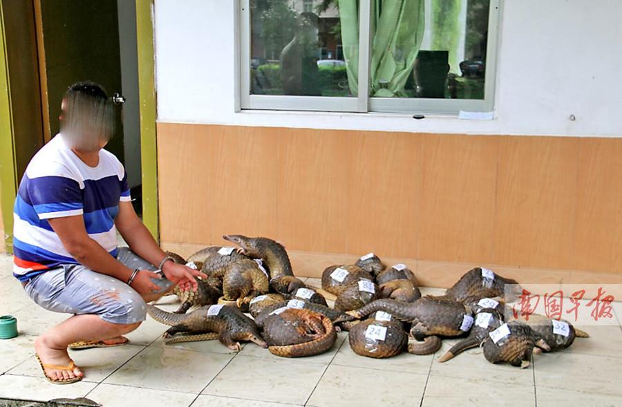 广西海警查获国家二级野生保护动物穿山甲34只