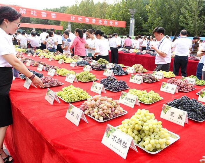 吐鲁番葡萄节216种葡萄斗艳