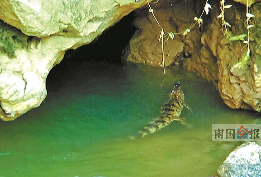 9月4日焦点图:河池金城江水厂码头附近惊现鳄鱼