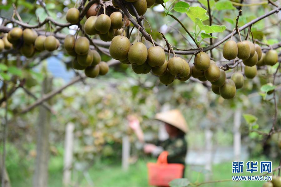#(农业)贵州剑河:红阳猕猴桃秋日喜丰收