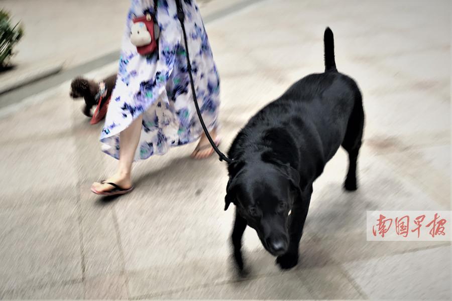 """养宠物需讲文明:出门溜达请牵紧""""汪星人""""(图)"""