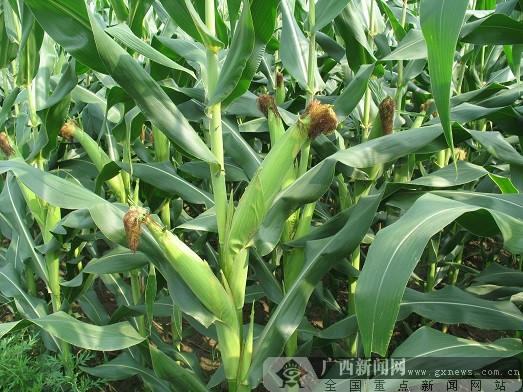 忻城培育糯玉米地方特产品牌 计划2020年产值4亿